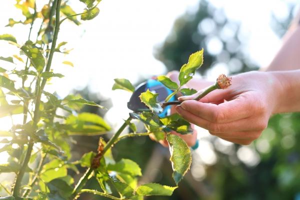L'heure de tailler les rosiers